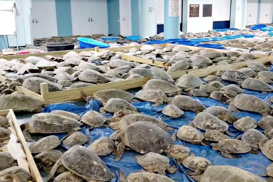 Жители Техаса спасают 3,5 тысячи морских черепах. Из-за неожиданных холодов рептилии отказываются заходить в воду. Местные жители организовали для них временный приют в Конференц-центре Южного Падре-Айленда
