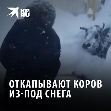Откапывают коров из-под снега