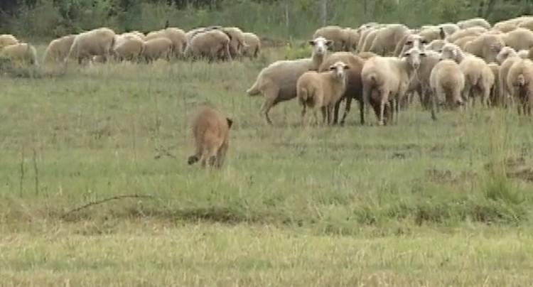 Львица Маша пасет овец в Дагестане.