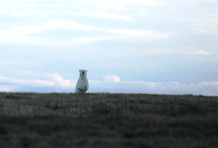 Белые медведи были частыми гостями в лагере