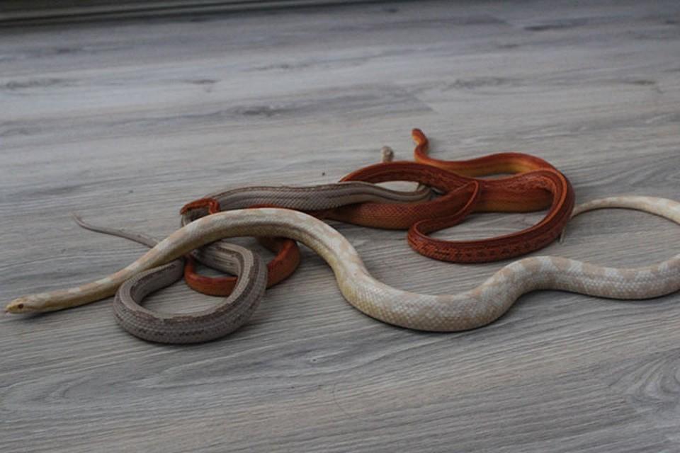 Змея полоз фото в приморье пол уместно