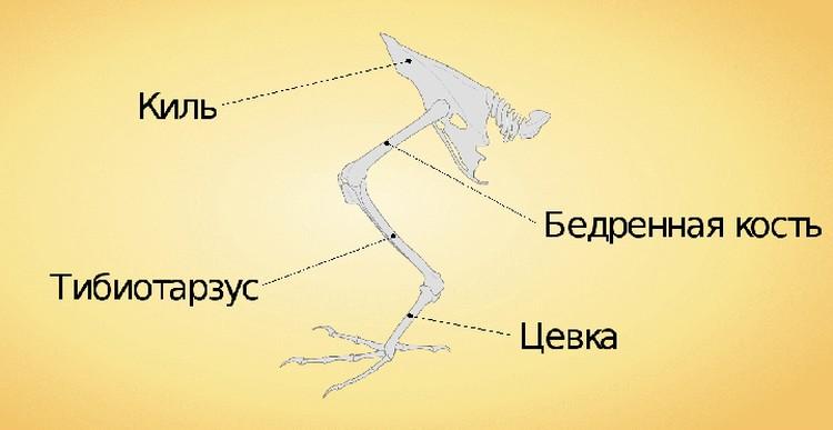 Расположение цевки - найденной косточки - в ноге птицы.