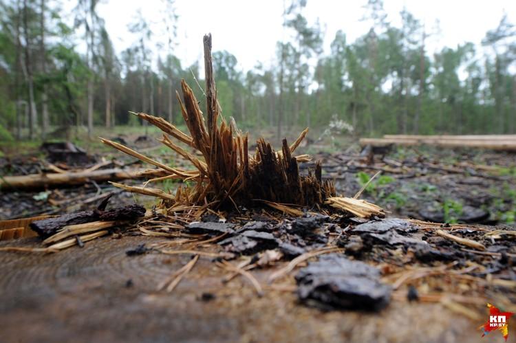 В Беловежском лесу образовались проплешины: в определенных местах лес вырубают подчистую.