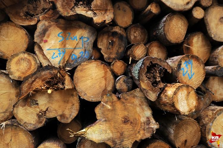 Вместе с деревьями, которые попортил короед, в железный клюв харвестера попадают и здоровые деревья.