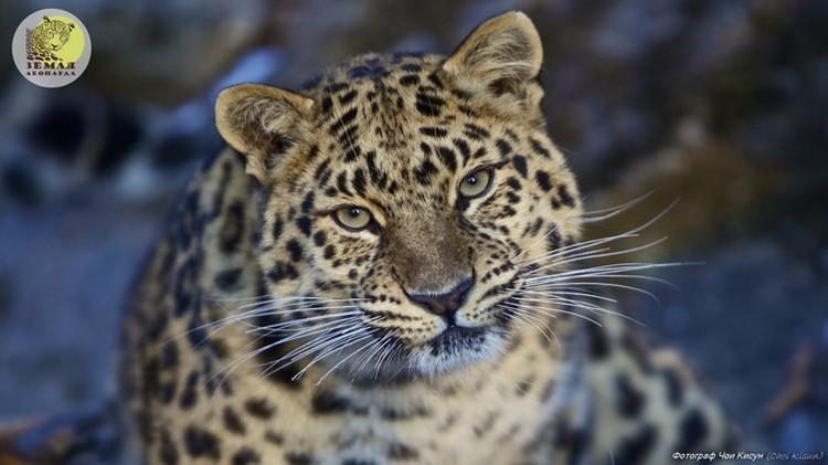Фото: ФГБУ «Земля леопарда». За жизнью краснокнижных хищников наблюдают с помощью фотоловушек.
