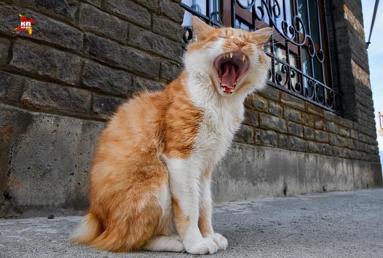 Уникальную породу короткохвостых кошек, Курильский бобтейл, ту можно встретить везде