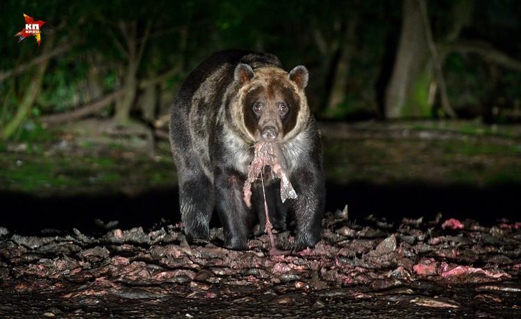 Медведи на острове не редкость