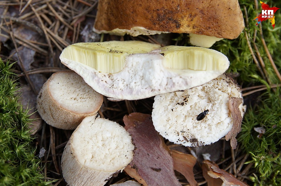 белый гриб в разрезе фото