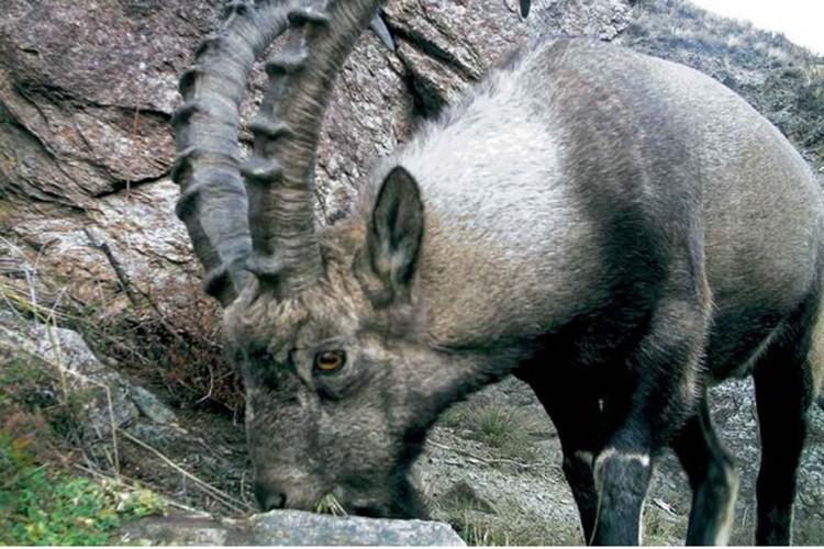 Сибирские горные козлы. Фото: Саяно-Шушенский заповедник