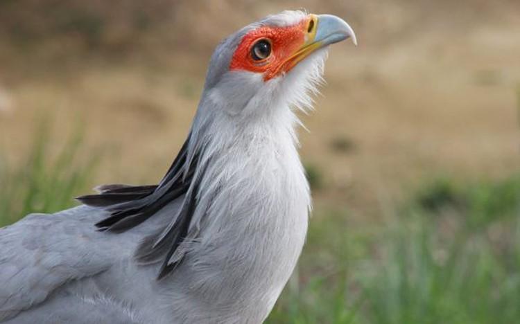 Птица-секретарь занесена в Международную Красную книгу в категории «уязвимые виды». Фото: Московский зоопарк