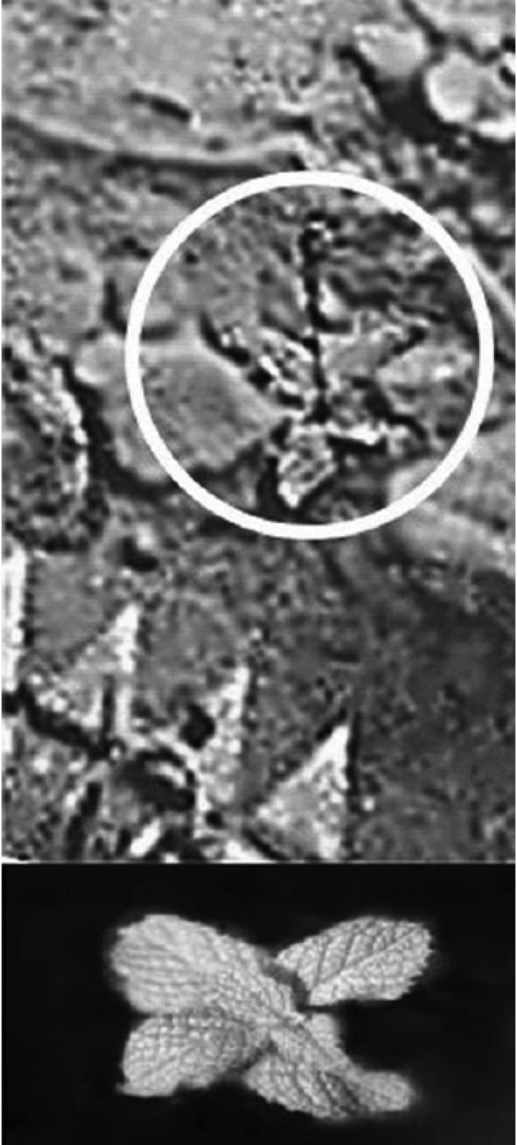 Бутон на стебле с листочками у поверхности. Внизу - земные листочки для сравнения.