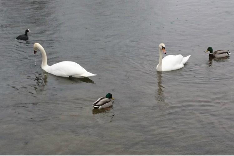 Лебеди сразу нашли себе друзей. Фото: ГМЗ «Гатчина»