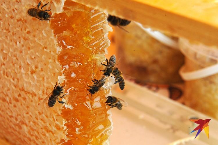 Основная причина массового мора пчел - неправильная обработка химией полей с сельхозрастениями.