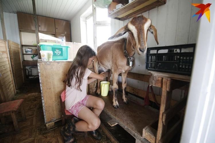 Дочка Кира помогает маме доить коз.
