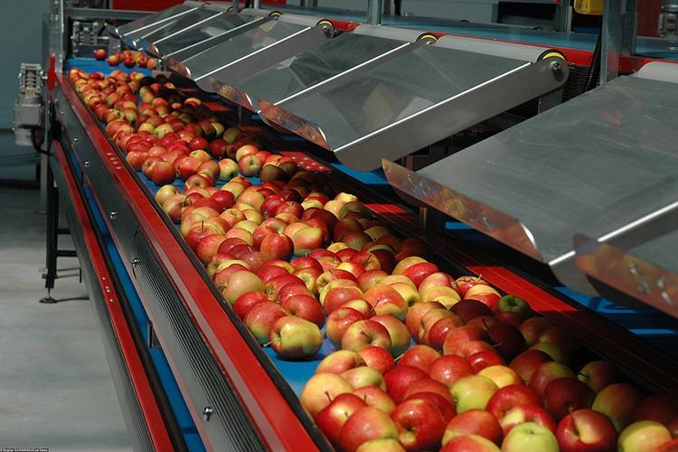 Конвейер подразумевает и селекцию, поставки сезонной рабочей силы, хранилища, сортировку, упаковк