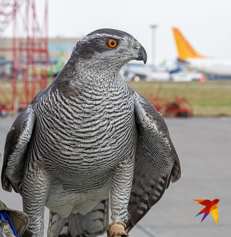 Ястребы бдят, чтобы птицы не таранили самолеты