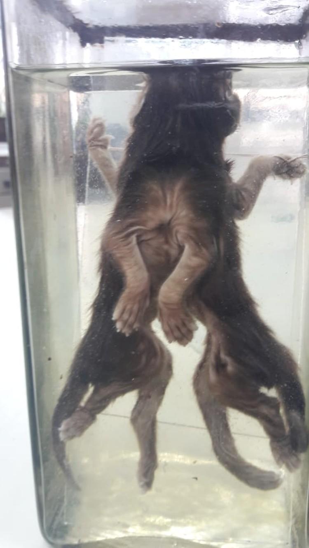 По мутации этот котенок похож на семилапое животное из Панино.