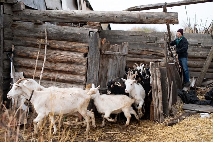Утро у ребят начинается с того, что они выгоняют коз на пастбище