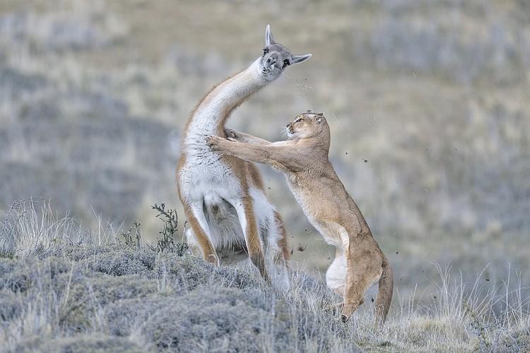 «Борьба на равных». Победитель в номинации «Жизнь млекопитающих». Автор - Инго Арндт (Германия). Фото: Ingo Arndt