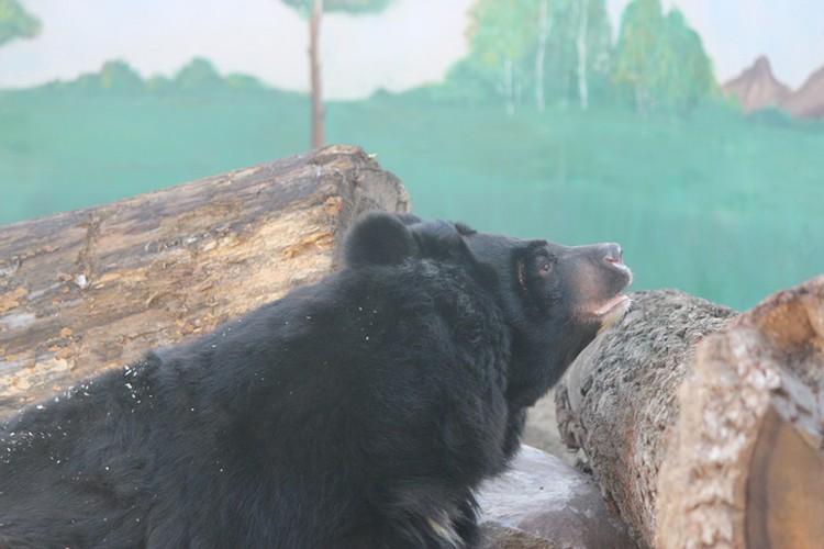 На новом месте медведица довольно быстро обжилась.