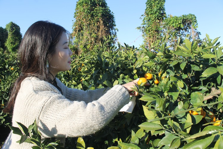 Чеджу - остров мандариновых плантаций. Поработать на них - довольно популярное развлечение у туристов
