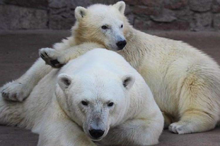 Услада стала мамой 16 медвежат / Фото: Ленинградский зоопарк
