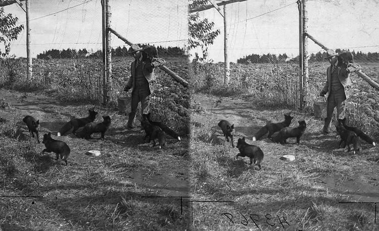 На фото видно: лисички неагрессивны. Видимо, на основе фото американские ученые и решили построить свое «исследование». Фото: www.nytimes.com.