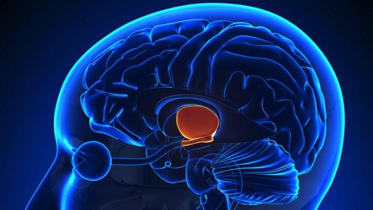 Гипоталамус (красное пятно): возможно этот отдел мозга и управляет процессом старения.