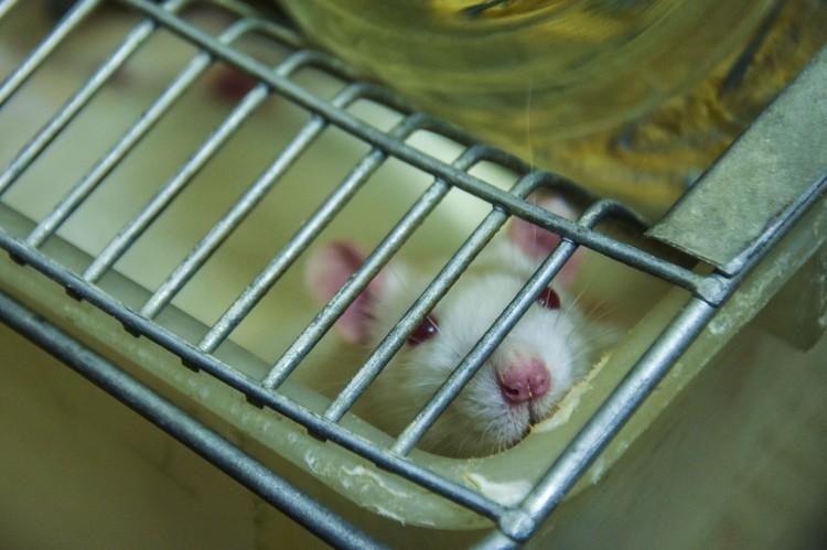 Крысам-альбиносам тоже нашлось место в ИцИГ.