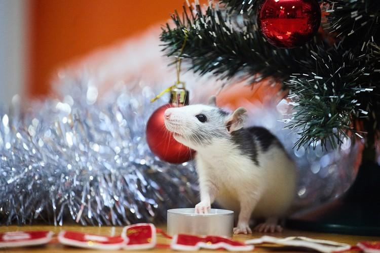 Кайл оказался очень любопытным крысёнком.