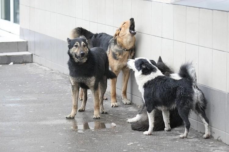 Псы сбиваются в стаи и загоняют косуль.