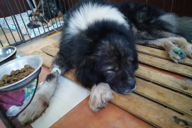 Сейчас Барон почти постоянно лежит под капельницей. Фото: приют «Друг»
