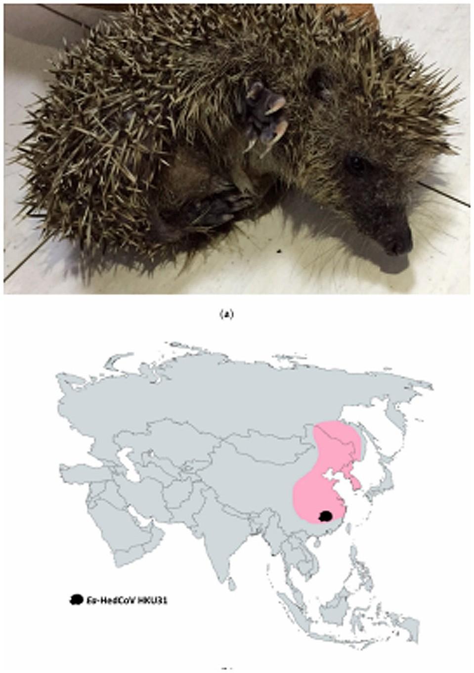 На карте показан ареал амурского ежа, у которого был обнаружен коронаровирус Ea-HedCoV HKU31