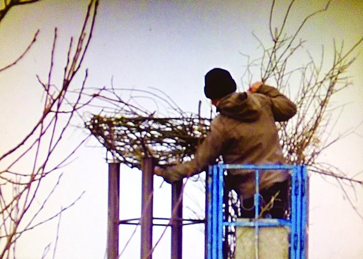 Гнездо для нелетающей самки соорудили в точности такое, какие строят себе сами птицы. Фото: Андрей ОРИШКЕВИЧ