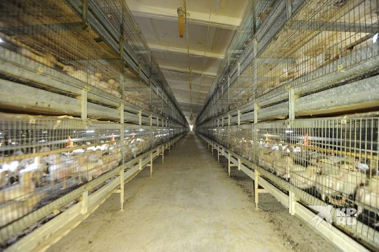Всего на птицефабрике сейчас находится около миллиона птиц.
