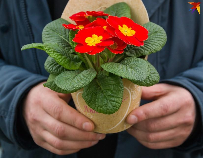 Примулы в горшочках тоже пользуются популярностью перед 8 Марта. Фото: Надежда ПАВЛЮЧИК