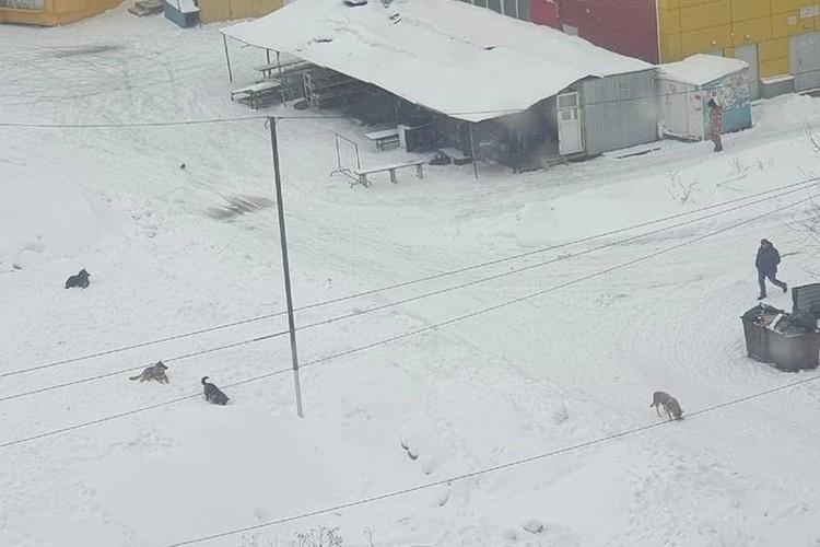 Жители ОбьГЭСа уже давно жалуются на бродячих собак. Фото: личный архив.