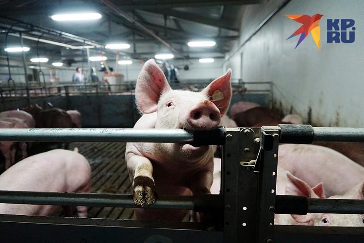 Более-менее нормально себя чувствуют производители мяса. Но многие жалуются, что не на что купить комбикорм