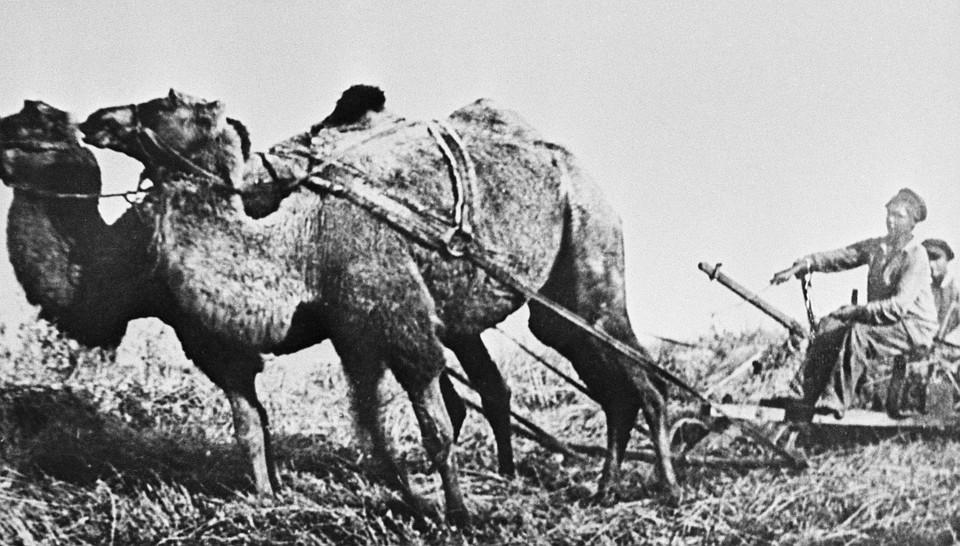 Ростовская область, август 1928 г. Первый урожай в совхозе, созданном в 1928 году, убирали на верблюдах. Фотохроника ТАСС