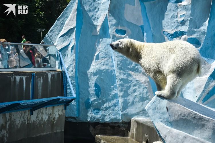 Белые медведи снова собирают большую публику.
