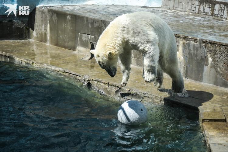 Белые медведи играют с мячом и ныряют в воду на радость зрителям.