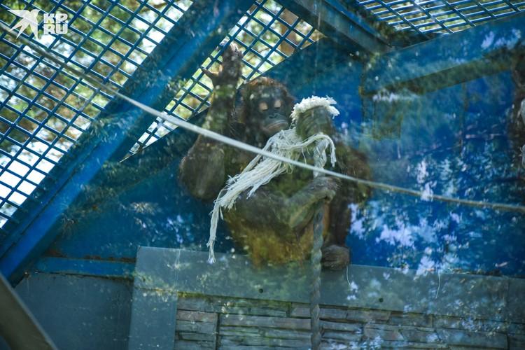 Орангутанги любят внимание, но иногда и им нужно побыть в уединении.