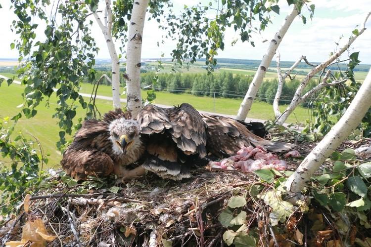 """С """"новенькими"""" в гнездо добавили еду. Фото Национального парка """"Нижняя Кама"""""""