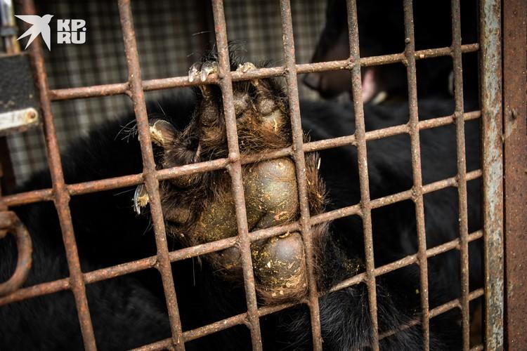 Пока что медведи содержатся в тесных клетках — им срочно нужны просторные вольеры.