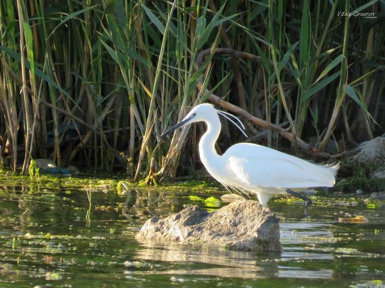Малая белая цапля - птица грациозная и проворная Фото: Виталий Гирагосов