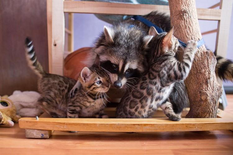 Да, это умиление. Печенька очень любит нянчиться с котятами.