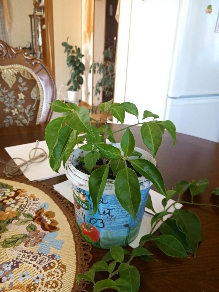 В начале марта супруги вернулись от дочери из Сингапура, привезли черенки бугенвиллии, два из них прижились. Теперь у Ольги Ивановны новая цель - вырастить дома дерево, усыпанное сиреневыми цветами, как в Сингапуре