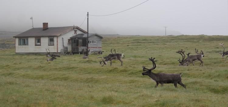 Северные олени тут не аттракцион для туристов. Просто пасутся у дороги.