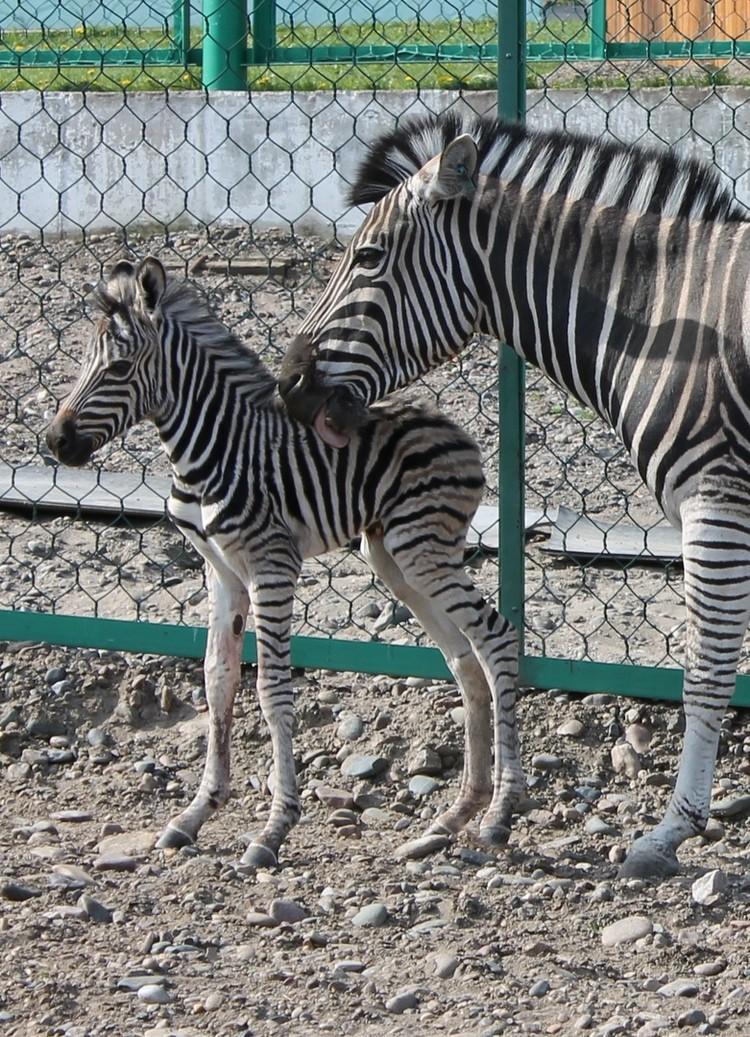 Зебры - очень семейные животные