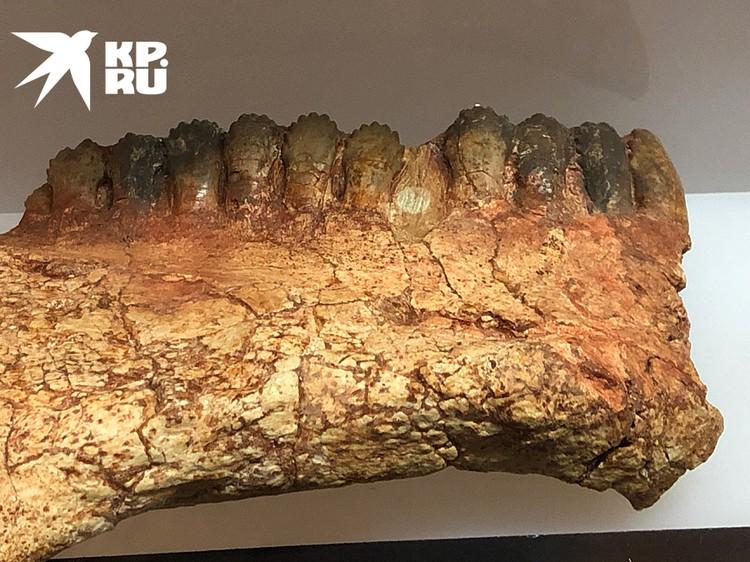 Фрагмент челюсти парейзавра. Мелкими резцами они перетирали ветви деревьев